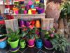 Colorful Spring pots and blooming houseplants for Valentines gifts.
